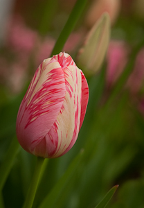 Tulip in the University of Virginia Gardens